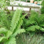 Location: West Chester, PennsylvaniaDate: 2011-06-06sterile fronds in summer