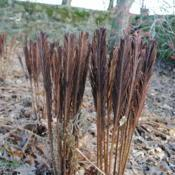 Location: Stroud Land Preserve in southeast PADate: 2012-12-04fertile fronds in winter