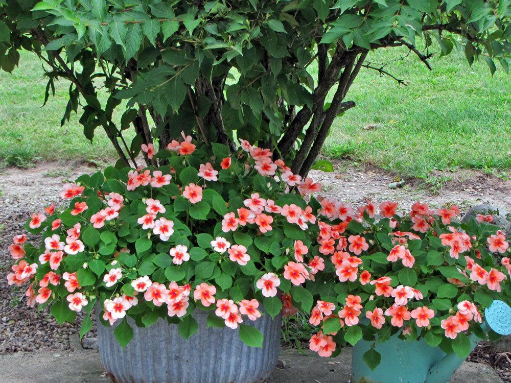 Photo of Impatiens uploaded by TBGDN