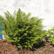 Location: Downingtown, PennsylvaniaDate: 2014-06-14planted specimen at house foundation
