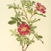Location: as Rosa acicularis var. nipponensisDate: c. 1911illustration by Alfred Parsons in Ellen Willmott's 'The Genus Ros