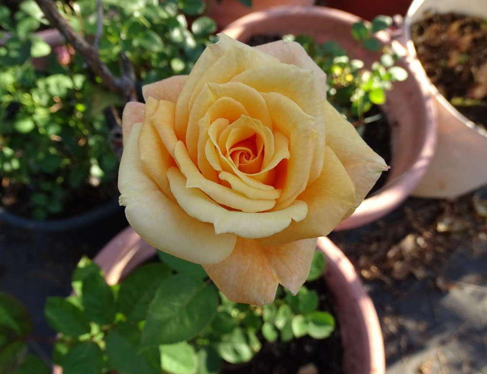 Photo of Rose (Rosa 'Desert Dawn') uploaded by Beth_NorCal
