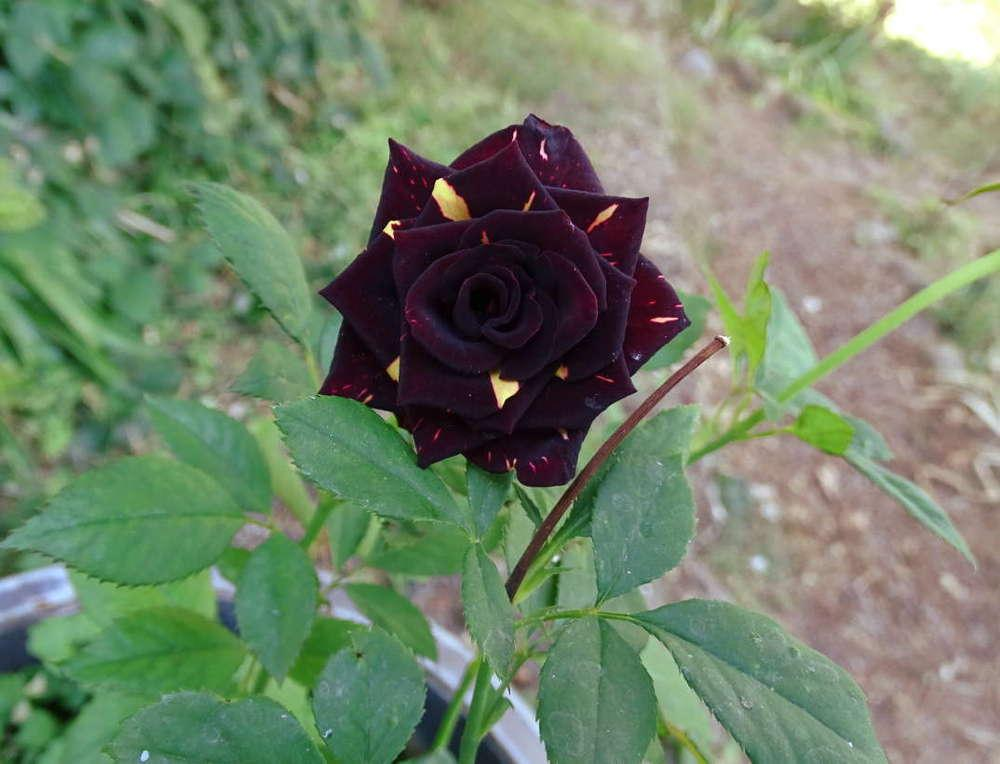 Photo of Rose (Rosa 'Memphis Music') uploaded by Beth_NorCal