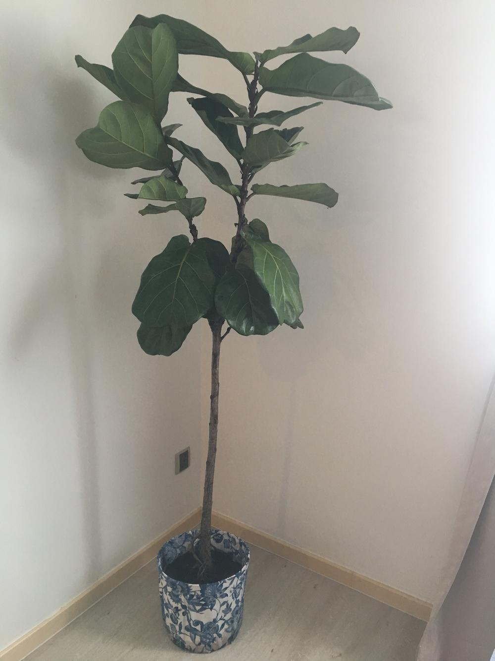 Ask a Question forum: Fiddle Leaf Fig Tree Droopy Leaves