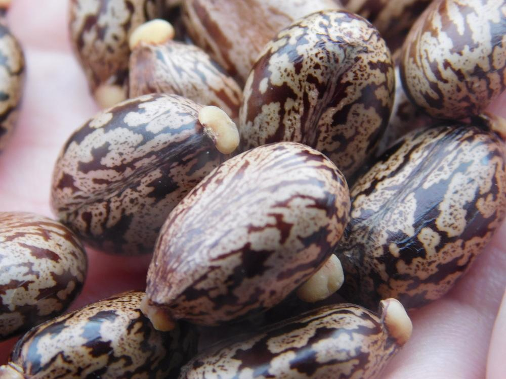 Photo Of The Seeds Of Castor Bean Ricinus Communis Impala Posted By Jheirloomseeds Garden Org