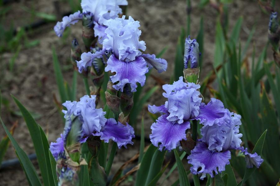 Photo of Tall Bearded Iris (Iris 'Ascent of Angels') uploaded by dimson67