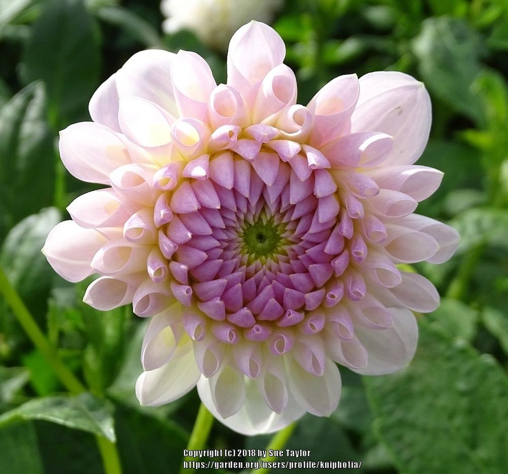 Dahlias Plant Care And Collection Of Varieties Garden