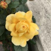 Date: 2018-07-29Rosa 'The Poet's Wife'