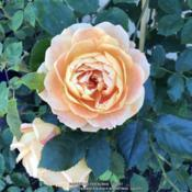 Date: 2018-09-08Rosa 'Lady of Shalott'