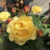 Date: 2018-07-30Rosa 'The Poet's Wife'