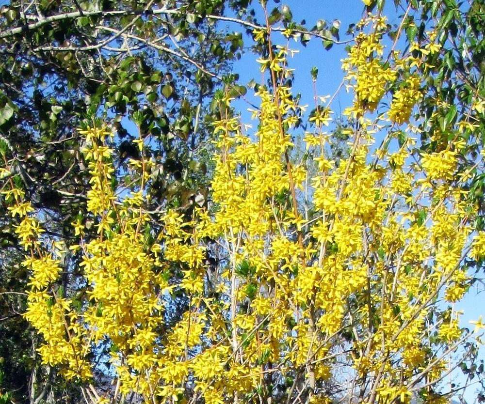 Photo of Forsythia 'Northern Gold' uploaded by lauribob