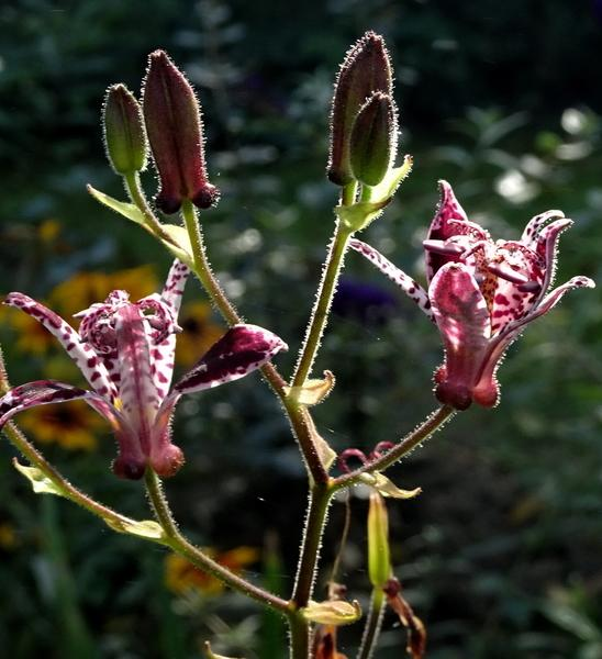 Photo of Toad Lilies (Tricyrtis) uploaded by Orsola