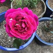 Date: 2018-09-30Rosa 'Mister Lincoln'