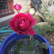 Date: 2018-09-28Rosa 'Mister Lincoln'