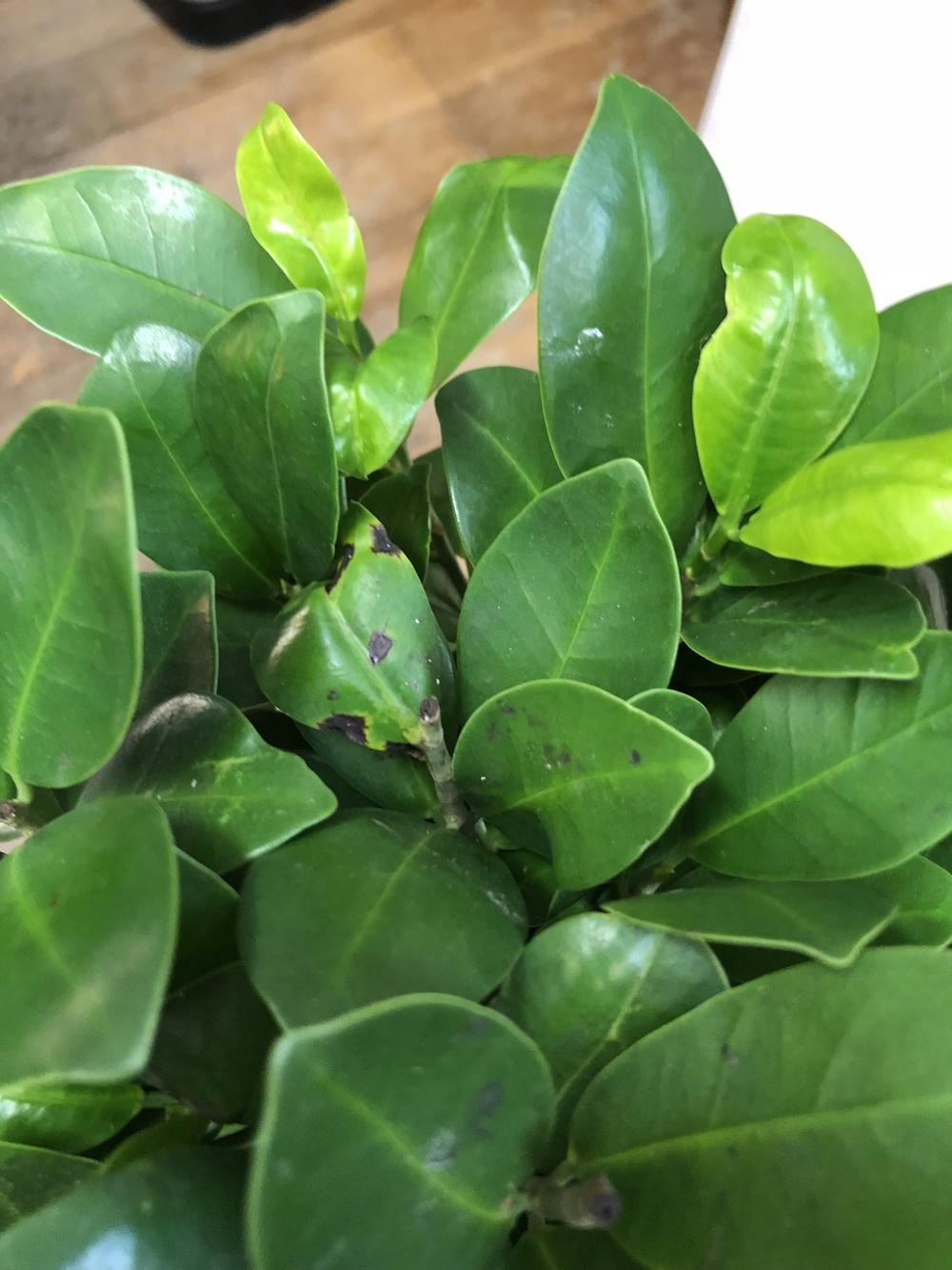 Why does the ficus shed leaves
