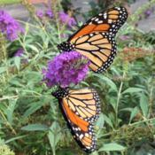 Location: My garden, Pequea, Pennsylvania, USADate: 2018-10-02Two monarch butterflies sharing a meal.