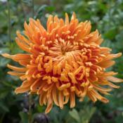 "Location: Clinton, Michigan 49236Date: 2018-10-01""Chrysanthemum 'Cheerleader', 2018 photo, Common Name:"