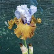 "Location: Hobart, TasmaniaDate: 2018-10-03Tall Bearded Iris "" Olive Windows """