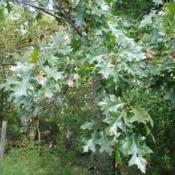 Location: Cheslen Land Preserve in southeast PennsylvaniaDate: 2018-10-03summer leaves