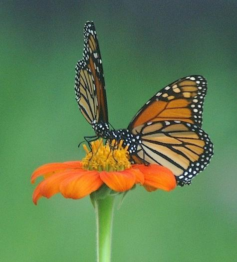 Photo of Mexican Sunflower (Tithonia rotundifolia) uploaded by krobra