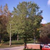 Location: Hinsdale, IllinoisDate: October circa 1990mature tree planted in parkway