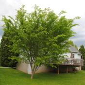 Location: Reading, PennsylvaniaDate: 2014-05-18young but maturing tree