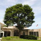 Location: Morton Arboretum in Lisle, IllinoisDate: 2015-06-19mature tree at administration bldg