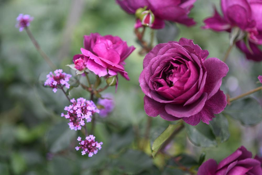 Photo of Rose (Rosa 'Ebb Tide') uploaded by cliftoncat