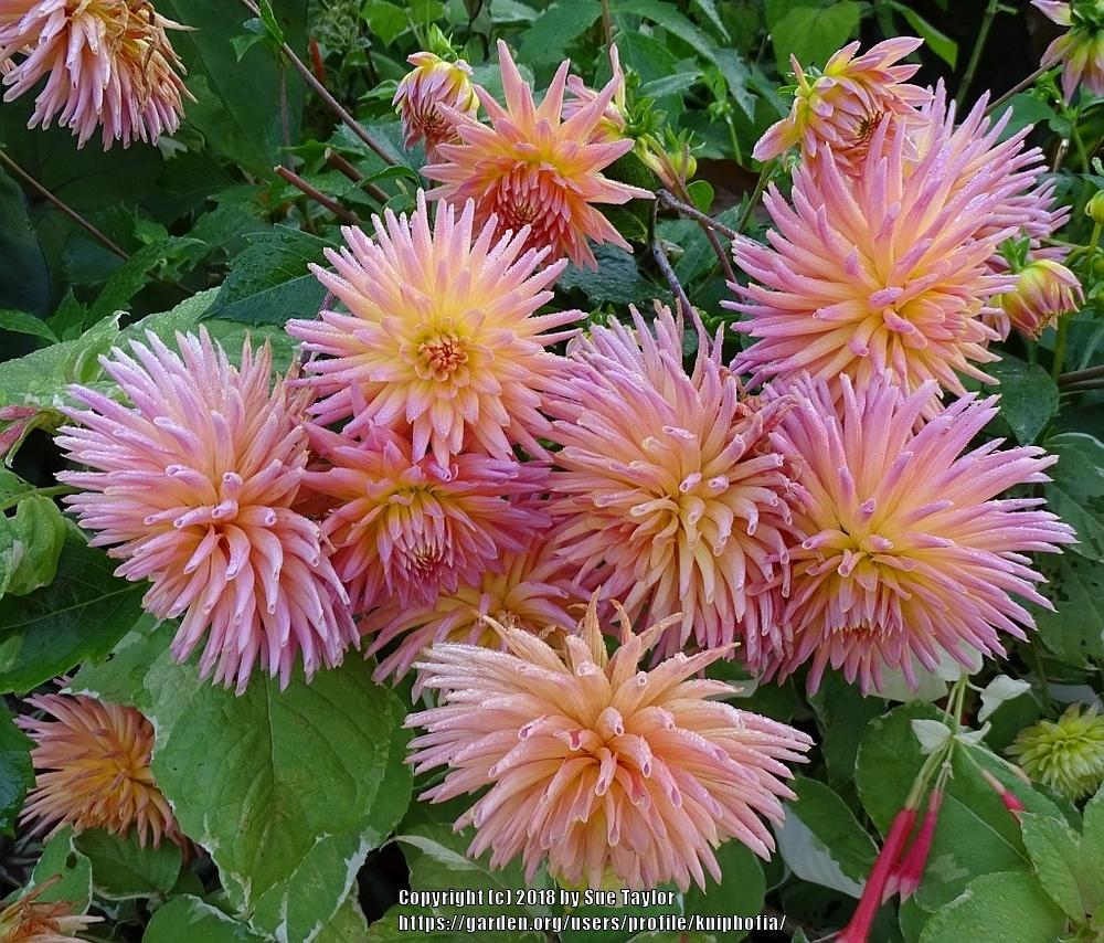 Photo of Dahlia 'Josudi Telstar' uploaded by kniphofia