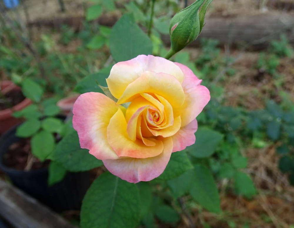 Photo of Rose (Rosa 'Gail') uploaded by Beth_NorCal