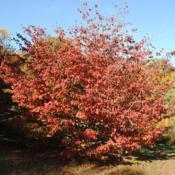 Location: Tyler Arboretum near Media, PennsylvaniaDate: 2010-10-28full-grown tree in red fall color