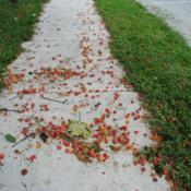 Location: Wayne, PennsylvaniaDate: August 2014messy fallen fruit on sidewalk