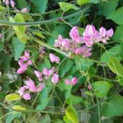 Location: GlendaleDate: Oct 9, 2018Coral Vine (Antigonon leptopus)