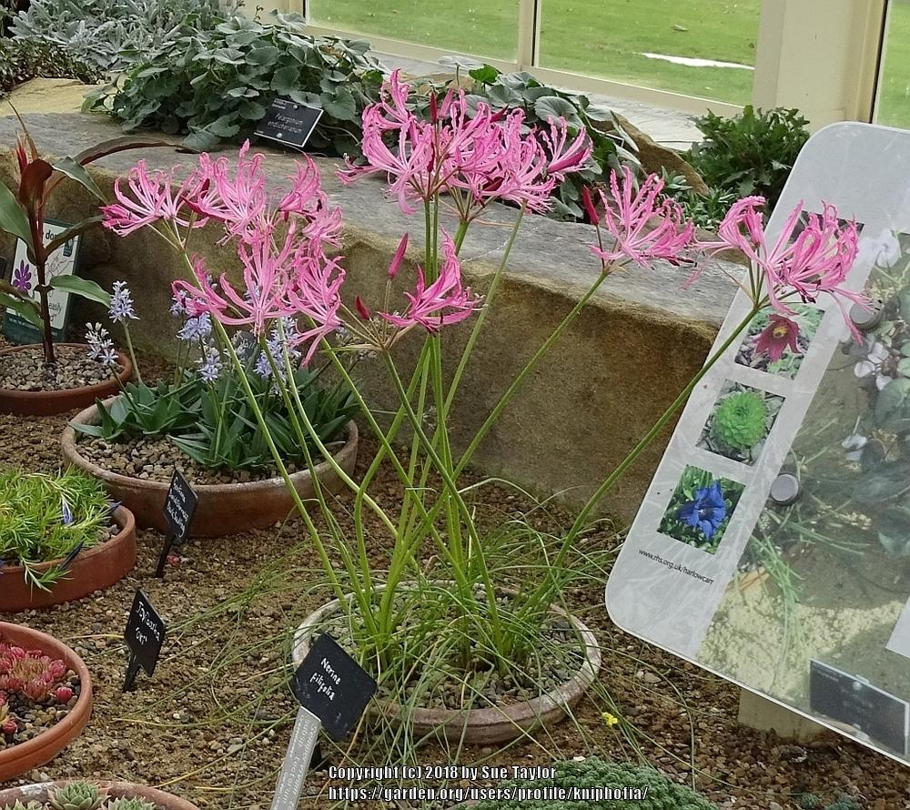 Cape Lilies: Plant Care and Collection of Varieties - Garden.org