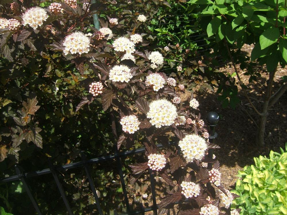 Photo of Eastern Ninebark (Physocarpus opulifolius Coppertina™) uploaded by pirl