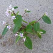 Location: Grandview Heights Land - Castlegar, B.C.Date: 2007-07-30- Dogbane emerges from the sand, perfuming the air with its fragr