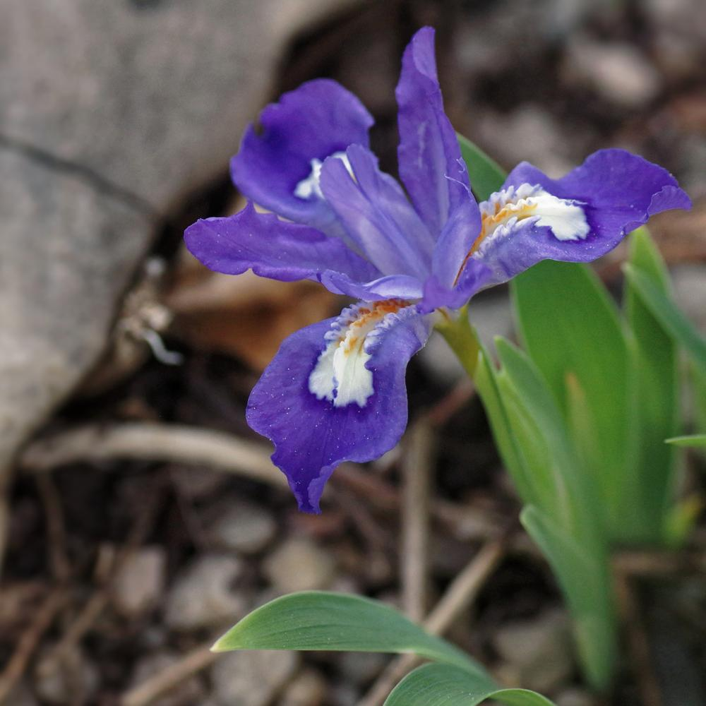 Photo of Species Iris (Iris cristata 'Abbey's Violet') uploaded by dirtdorphins