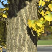 Location: Aurora, IllinoisDate: 2007-11-19maturing trunk with leaves turning color