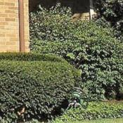 Location: northeast IllinoisDate: 2016-08-26shrub at corner of parent's house in 1970's