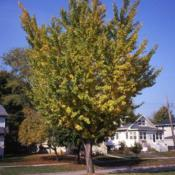 Location: Aurora, IllinoisDate: October in the 1980'sparkway tree beginning fall color