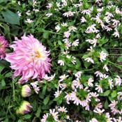 Location: Dahlia garden - full sun - zone 7Date: 2018-10-03Light pink scaevola with dahlia Colorado Classic.