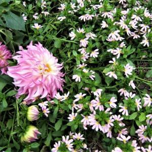 Light pink scaevola with dahlia Colorado Classic.