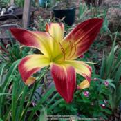 Location: My Caffeinated Garden, Grapevine, TXDate: 2018-06-26Big flower with great colors!