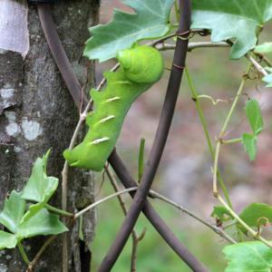 Every year this plant is host to the Vine Sphinx caterpillar.  Wh