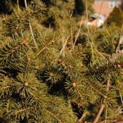 Location: Downingtown, PennsylvaniaDate: 2013-01-06green needles