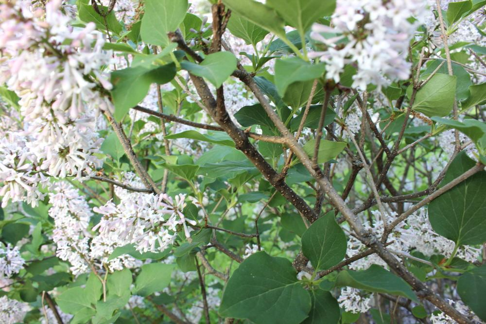 Photo of Manchurian Lilac (Syringa pubescens subsp. patula 'Miss Kim') uploaded by blue23rose