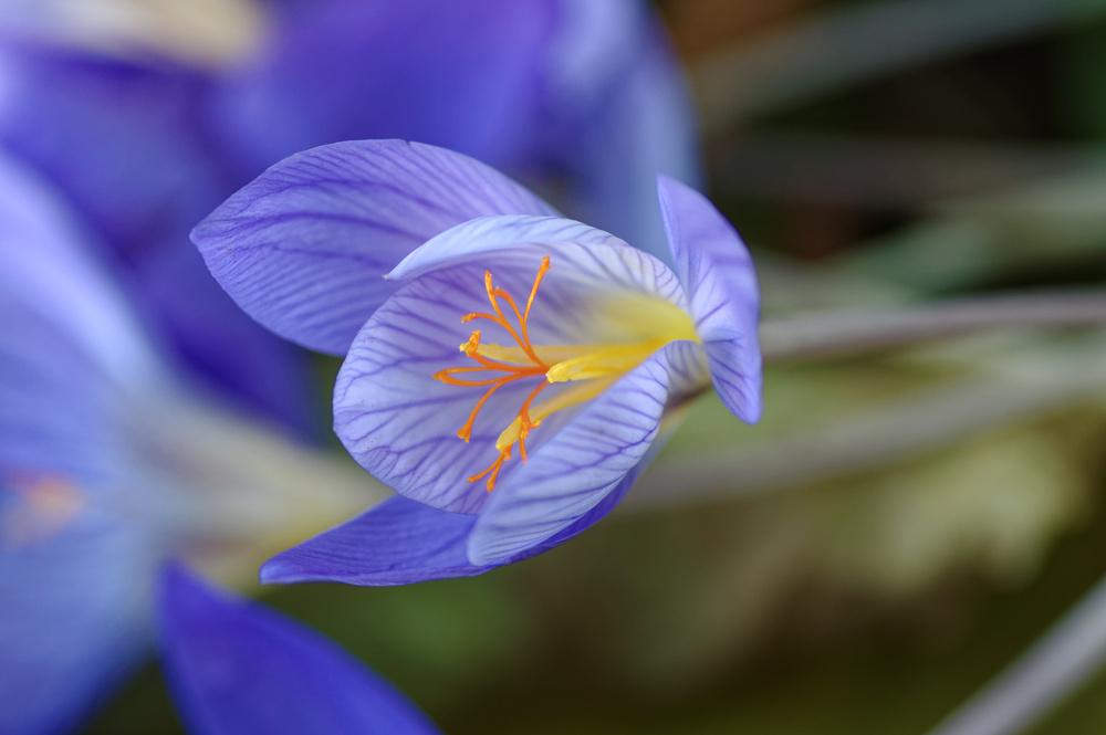 Photo of Fall Crocus (Crocus speciosus) uploaded by evermorelawnless