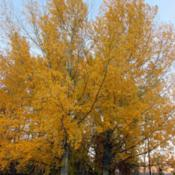 Location: TwispDate: OctoberHybrid Poplar
