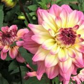 Location: Dahlia garden - full sun - zone 7Date: 2018-10-06