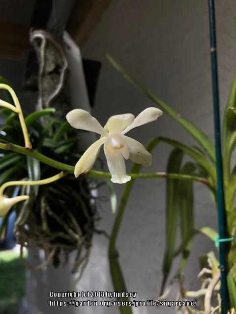 Orchids forum: Our Orchid blooms in October 2018 - Garden org